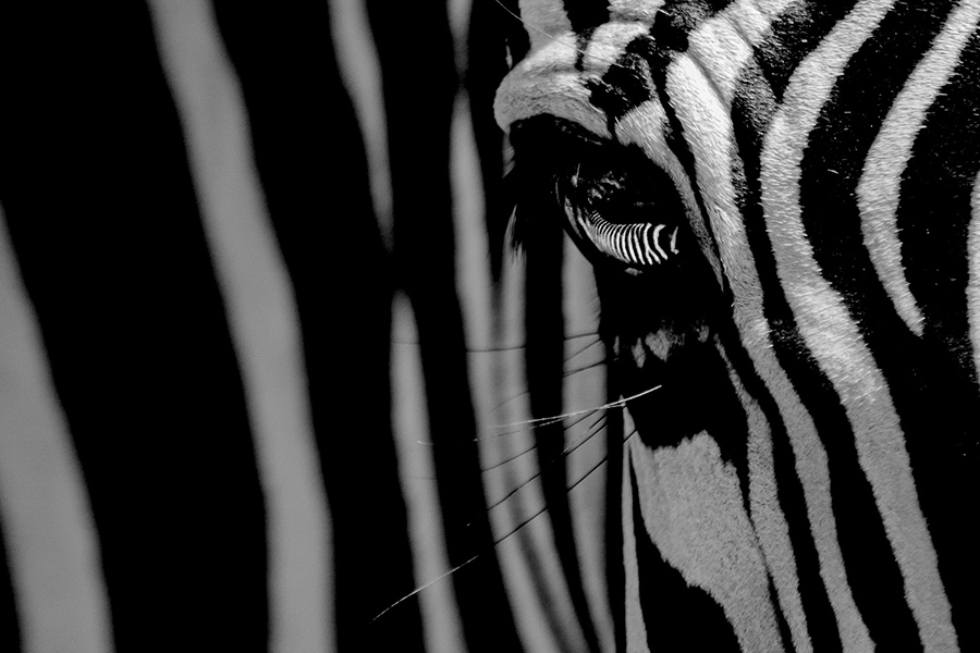 Petr-zebra