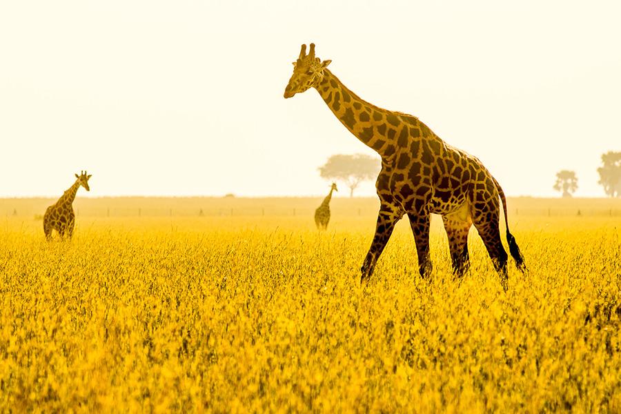 Petr-giraffe_Uganda