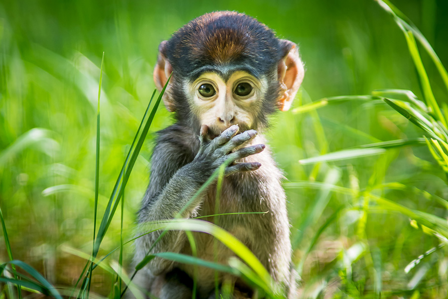 Petr-patas_monkey